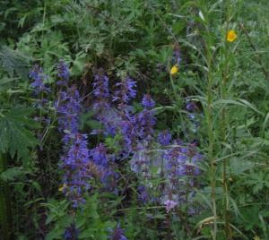 purple harebells