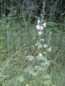 white holly hock