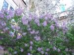 purple-lilacs