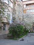 lilacs-in-courtyard